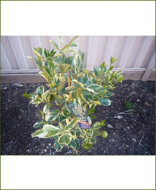 Nimbu Variegated (Variegated Lemon Tree - Fortunella Japonica)