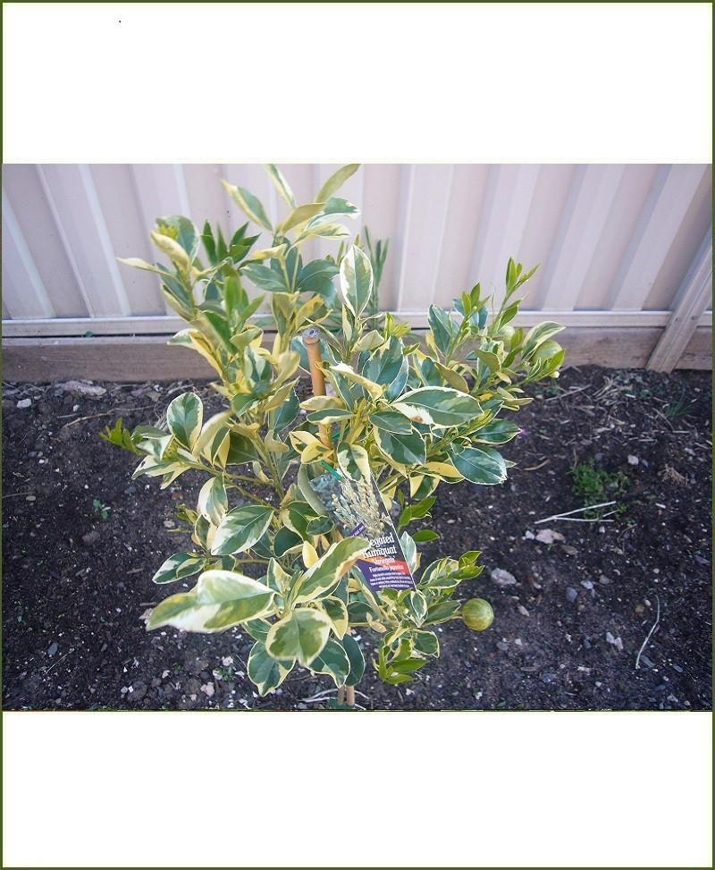 Nimbu Variegated (Variegated Lemon Tree - Fortunella Japonica)