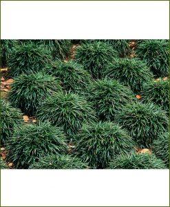 Ophiopogon Japonicus Dwarf, Mondo Grass, Monkey Grass
