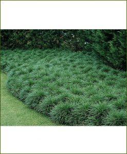 Ophiopogon Japonicus, Lily Turf, Mondo Grass, Monkey Grass