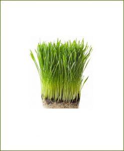 Organic Fresh Wheat Grass