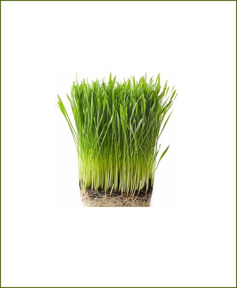 Organic Fresh Wheat Grass