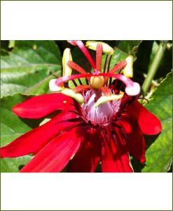 Passiflora Sherry (Passion Vine), Passion Flower, Krishnakamal, Passiflora Red, Rakhi Bel