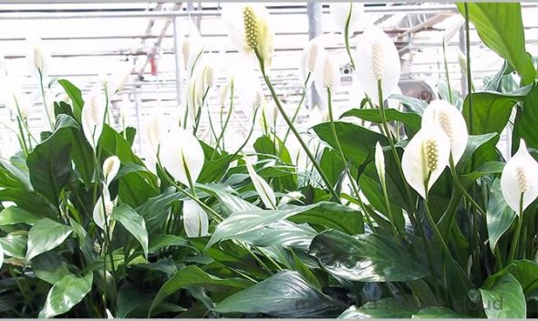 Peace Lily Care Spathiphyllum Plant care