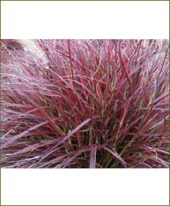 Pennisetum Setaceum, Red Frountain Grass