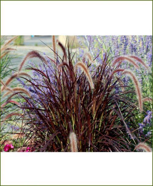 Pennisetum Setaceum, Red Frountain Grass Purple