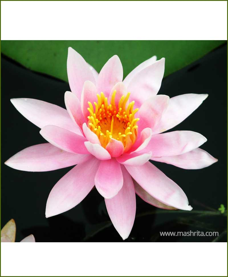 Pink Lotus - Gulabi Kamal - Pink Water Lily (Nelumbo Nucifera)