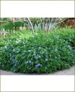 Plumbago Auriculata, Leadwort, Cape Plumbago, Sky Flower
