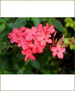 Plumbago Indica, Scarlet Leadwort, Lal Chitrak