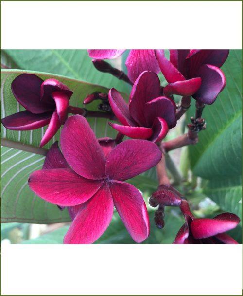 Plumeria Black - Red (Champa - Plumeria Scott Pratt)