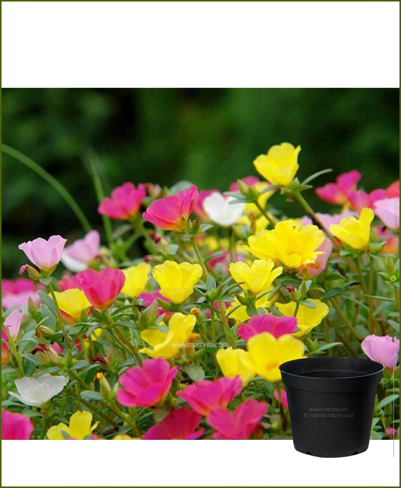 Portulaca Oleracea Mixed 6 inch Pot (10, O Clock - Dash Bajia)