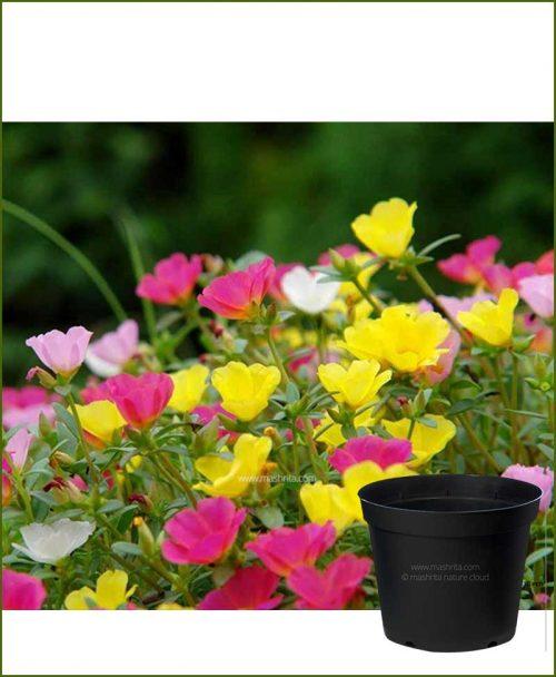 Portulaca Oleracea Mixed 10 inch Pot (10' O Clock - Dash Bajia)