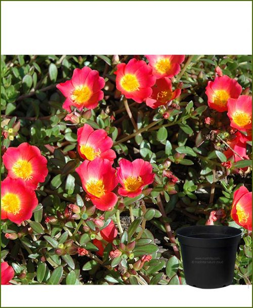 Portulaca Oleracea Mixed 10 inch Pot (10' O Clock - Dash Bajia)