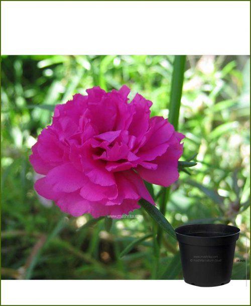 Portulaca Pink 6 inch Pot (9 O Clock - Dash Bajia)