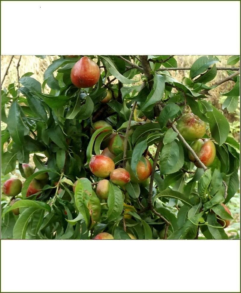 Prunus Persica, Peach, Aadu