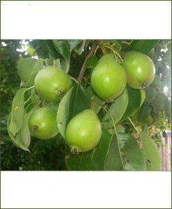 Pyrus, Pear, Nashpati