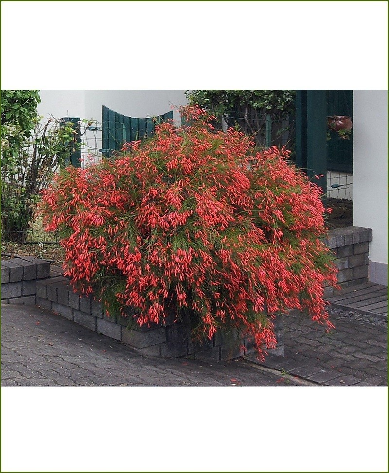 Russelia Rquisetiformis, Firecracker, Coral Plant, Rasili