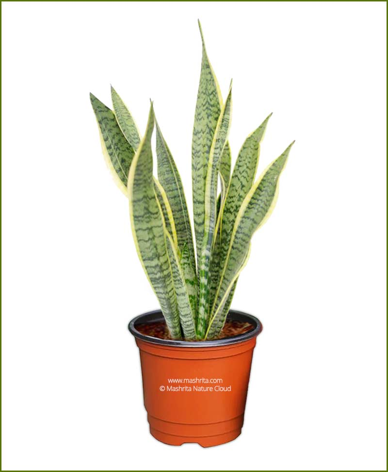 Sansevieria Trifasciata Laurentii (Snake Plant) Bushy