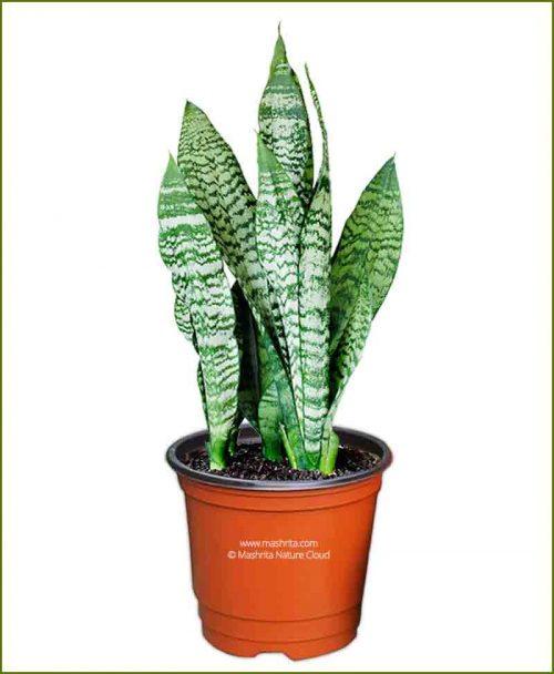 Sansevieria Trifasciata (Snake Plant) Bushy
