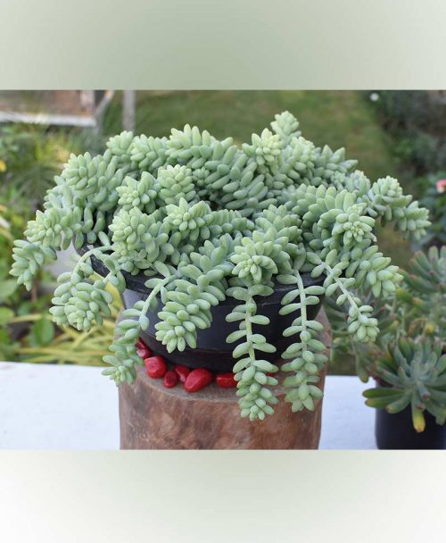 Basket Sedum Burito