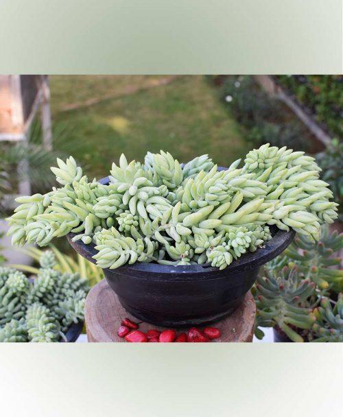 Basket Sedum Morganianum