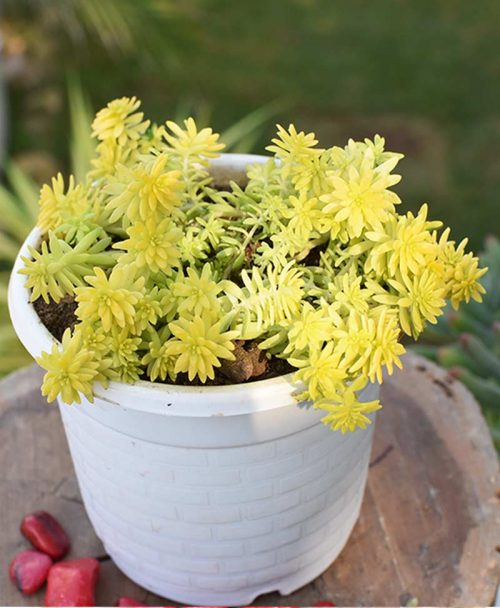 Sedum Yellow - Sedum Angelina