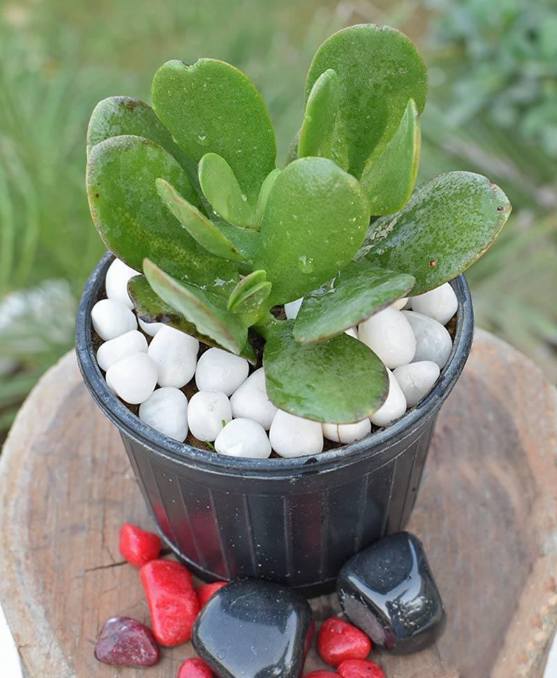 Crassula Ovata (Jade Plant Fatty Leaves)