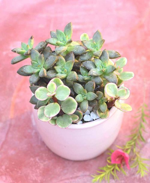 Succulents Mixed in Ceramic Pot