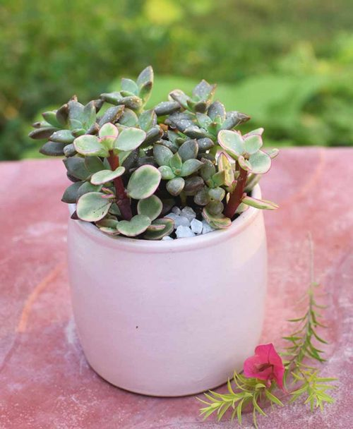 Succulents Mixed in Ceramic Pot 2