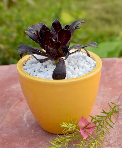 Aeonium Black Rose in Ceramic Pot 2
