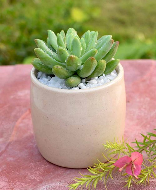Sedum in Ceramic Pot -2