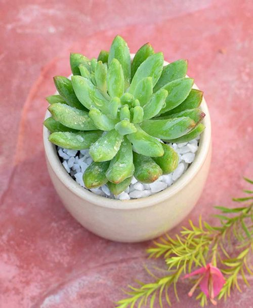 Sedum in Ceramic Pot