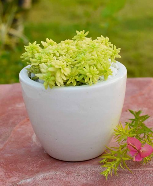 Sedum Golden in Ceramic Pot