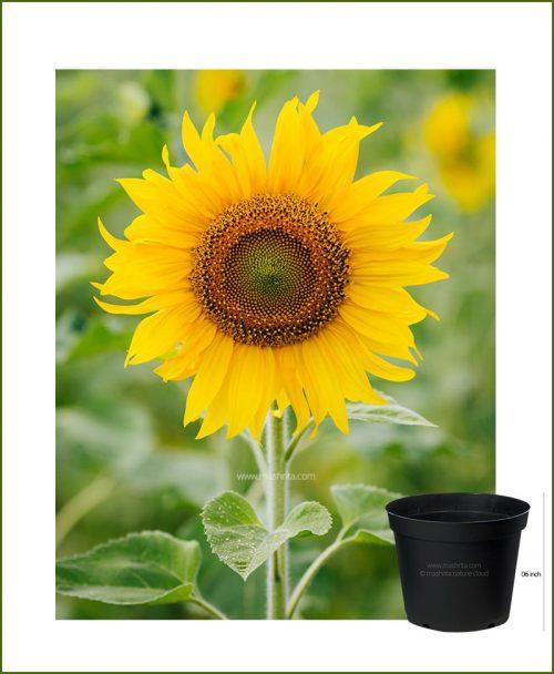 Sunflower 6 inch Pot