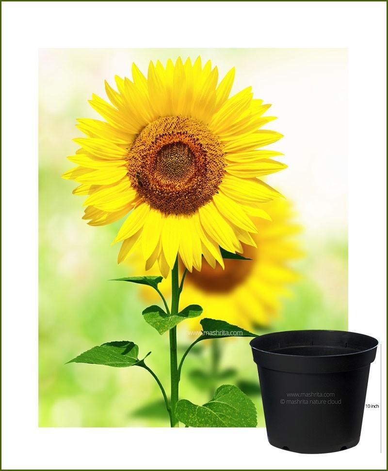 Sunflower 10 inch Pot