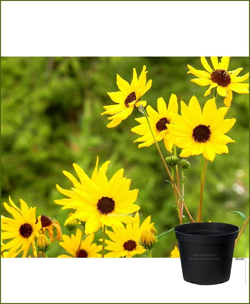 Sunflower Dwarf 6 inch Pot