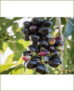Syzygium Cumini, Black Plum, Kala Jamun