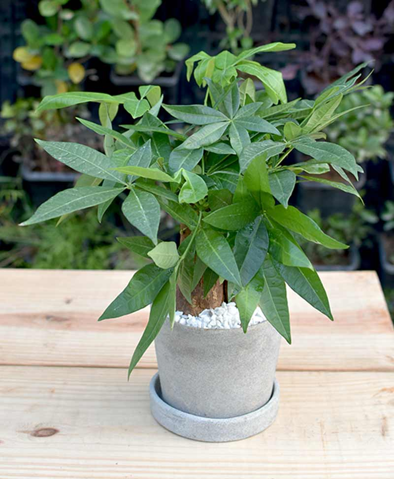 Ceramic Concrete Pot with Pachira Aquatica 3 Stems Bonsai