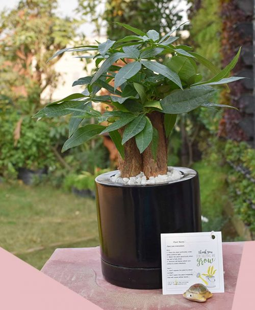 Fiber Glass Round Black Planter with Pachira Aquatica 3 Stems Bonsai