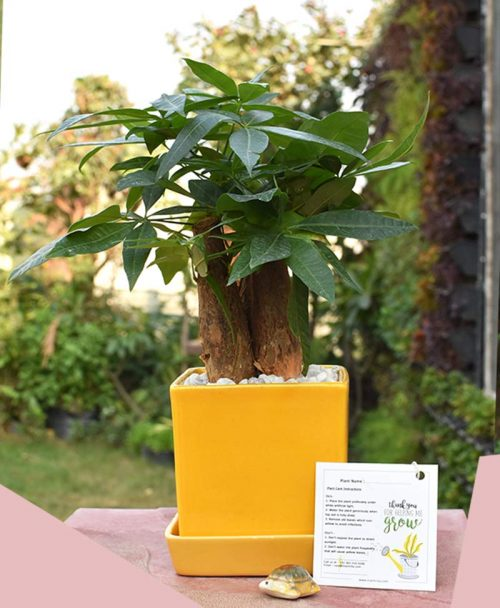 Ceramic Square Yellow Pot with Pachira Aquatica 3 Stems Bonsai