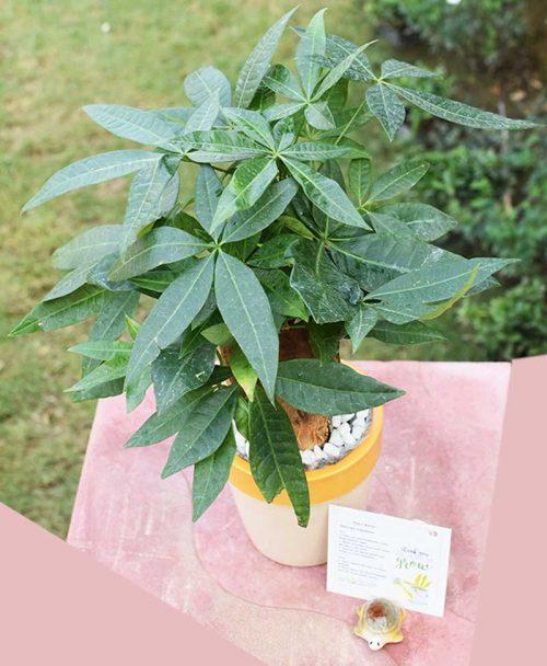 Ceramic Cup Pastel Green Pot with Pachira Aquatica 3 Stems Bonsai -2