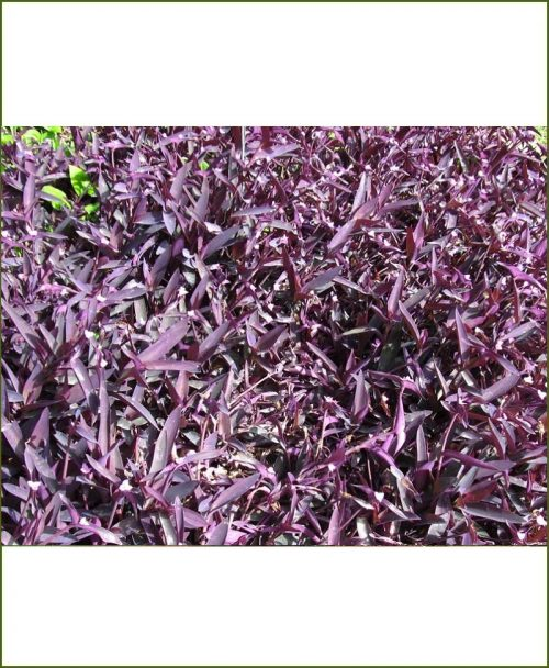 Tradescantia Pallida, Purple Queen, Purple Secretia Kankauwa
