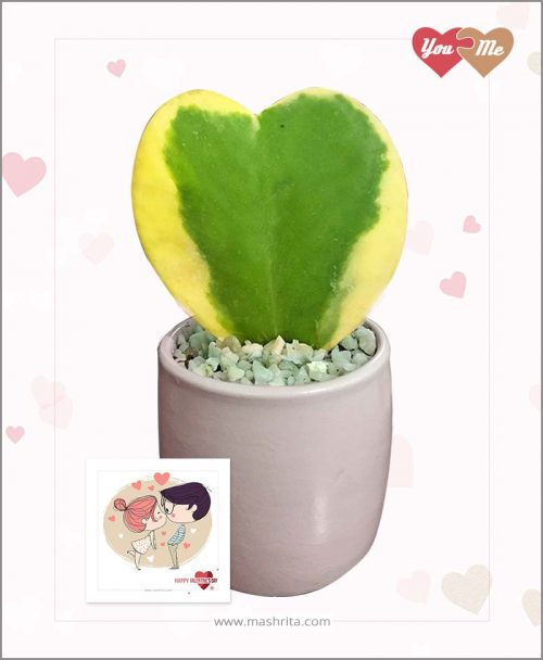 Hoya Sweet Heart Variegated Plant in Pink Valentine Pot