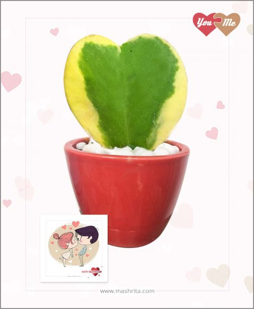 Hoya Sweet Heart Variegated Plant in Red Oval Pot