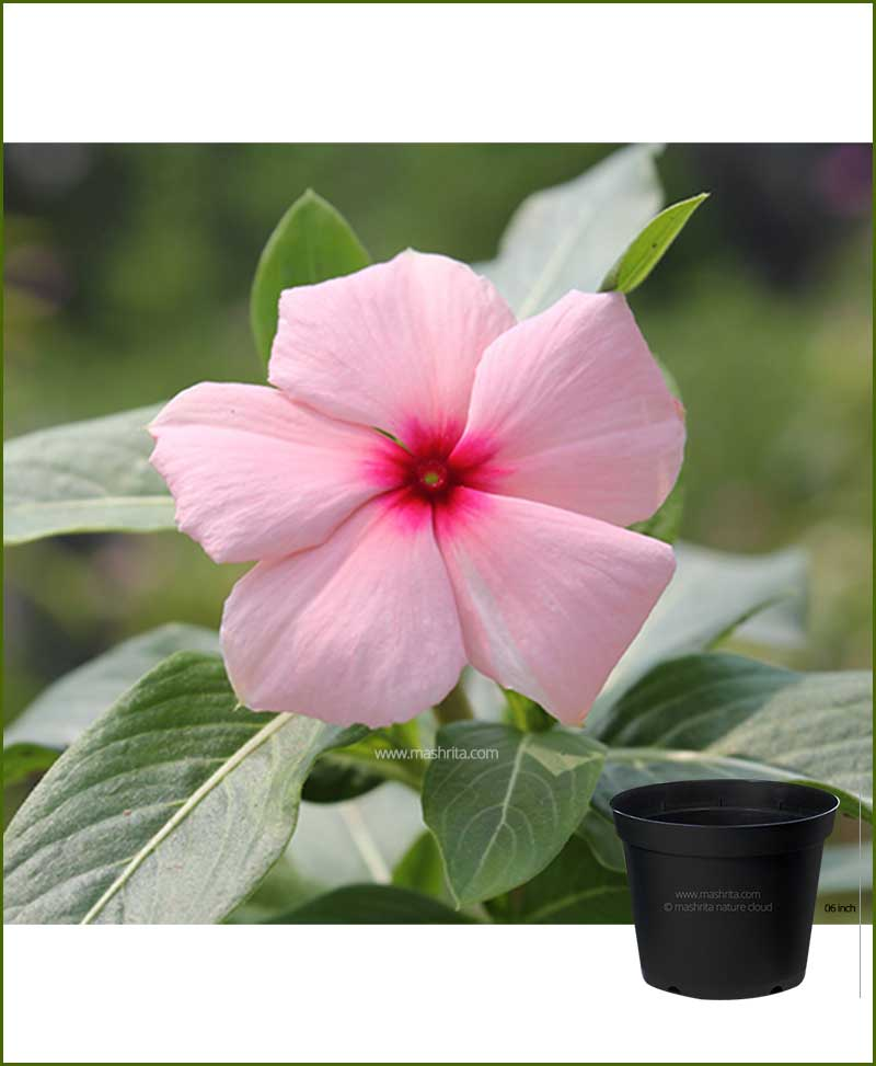 Vinca Pink 6 inch Pot
