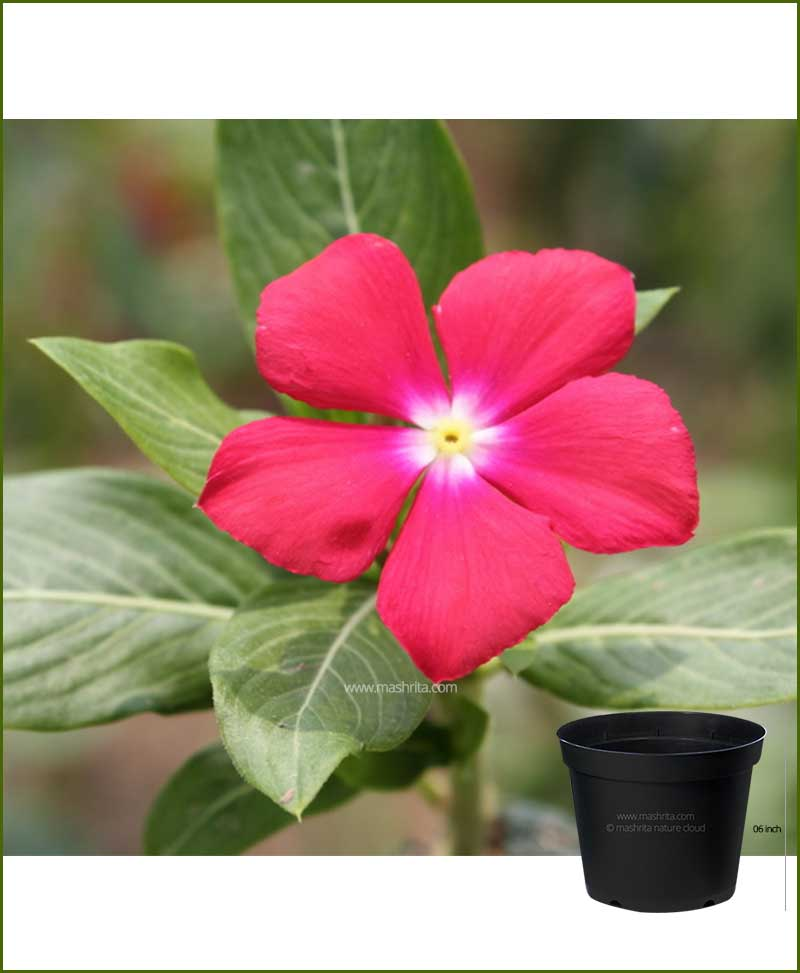 Vinca Red 6 inch Pot