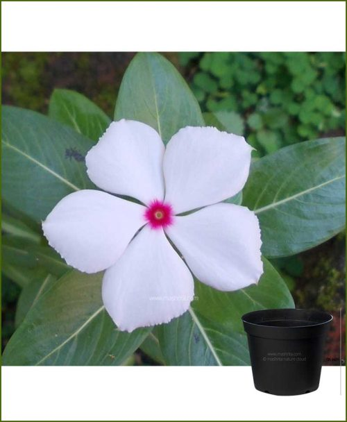 Vinca White 6 inch Pot