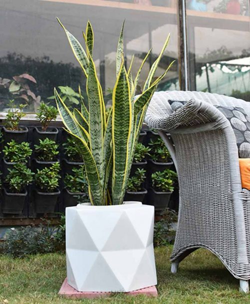 Fiber Glass Hexagon Shape Gray Planter with Snake Plant Variegated (Sansevieria)