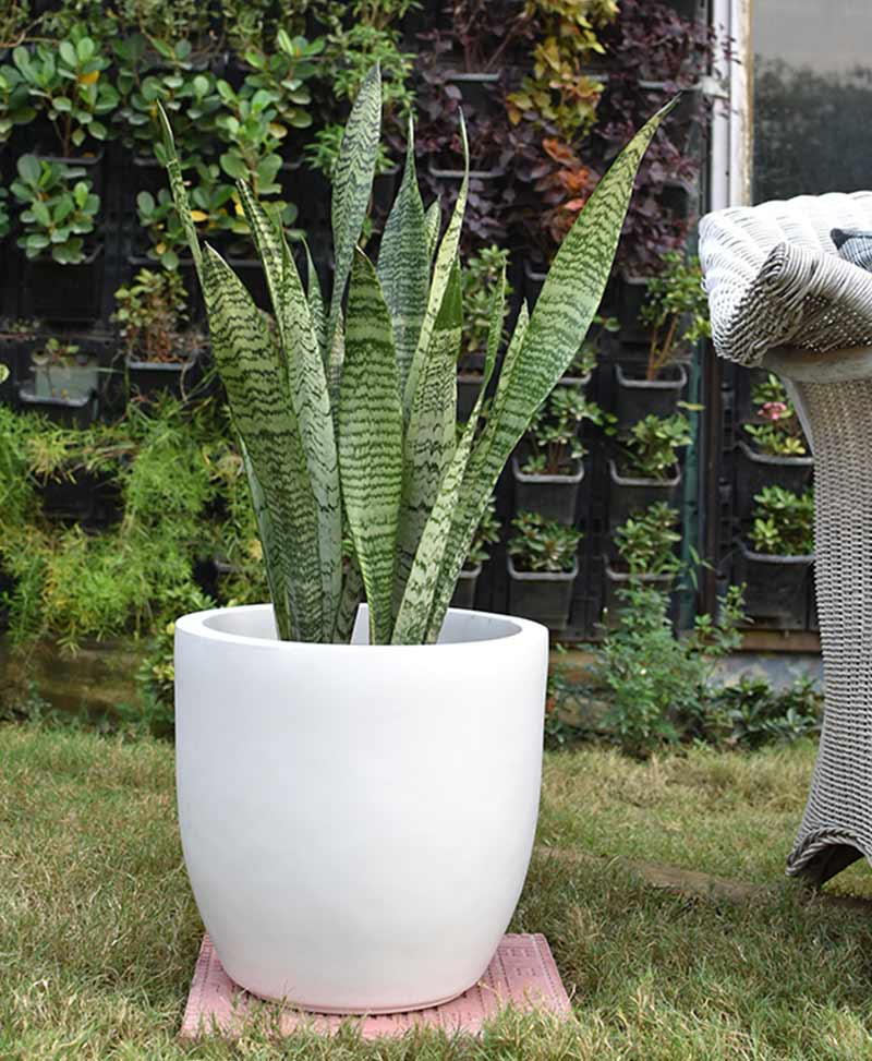 Fiber Glass Cup Shape Planter with Snake Plant Green (Sansevieria)
