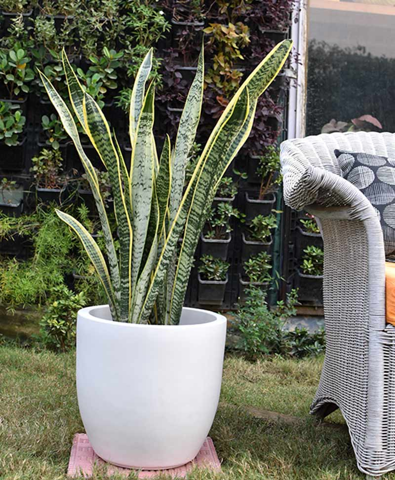 Fiber Glass Cup Shape Planter with Snake Plant Variegated (Sansevieria)